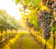 bando-imprese-vitivinicole
