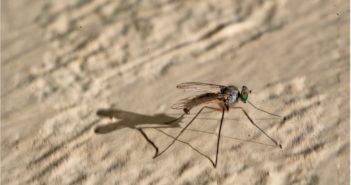 zanzara-non-trasmette-virus